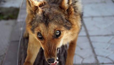 В Гомеле в минувшем году бешенство нашли у семи животных