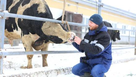 Как живётся символу 2021-го года на Гомельщине и почему быки-производители никогда не бывают рогоносцами