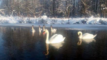 Почему на Гомельщине на зимовку остались белые лебеди?