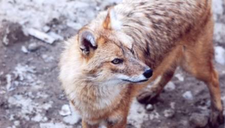 В Гомельском районе охотники выслеживали волков, а добыли шакала