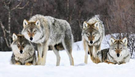 Светлогорские рыбаки спасались от волков на деревьях
