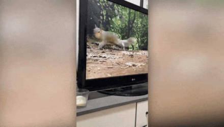 Собака увидела белку на экране, и её шокированный взгляд не оставил зрителям шансов — смешное видео