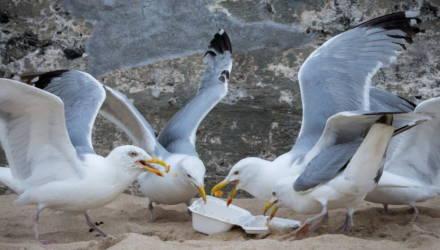 В Бахрейне чайки перестали летать из-за ожирения. Они пристрастились к человеческой пище