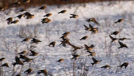 Зима уходит: на выходных в Беларусь вернулись первые перелётные птицы