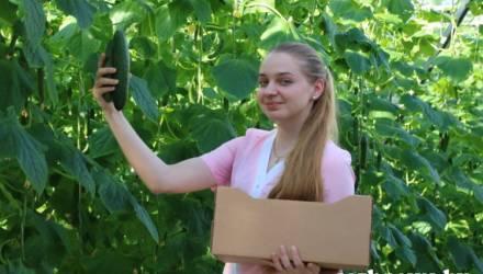 Летнее настроение в начале весны: овощеводы КСУП «Брилёво» поставляют в торговую сеть Гомеля огуречную продукцию