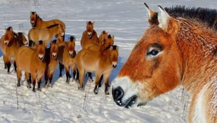 Исчезающий вид: как лошади Пржевальского живут в Чернобыльской зоне на Гомельщине