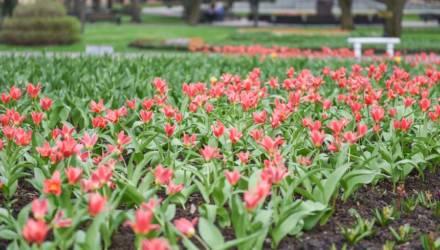 В Гомельском парке расцвели тюльпаны