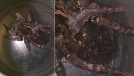 Под Гомелем мужчина поймал самку тарантула: осталось 50 паучат, которых некуда деть