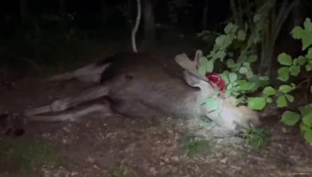 В Речицком районе погиб байкер, который столкнулся с лосём. Животное тоже пало