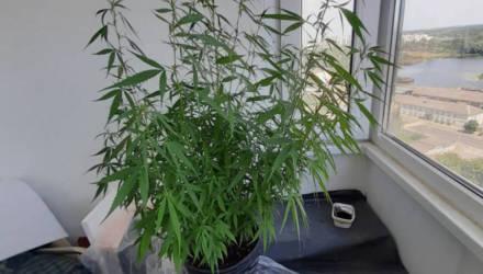 Гомельчанин-директор выращивал коноплю прямо в квартире с красивым видом на водоём