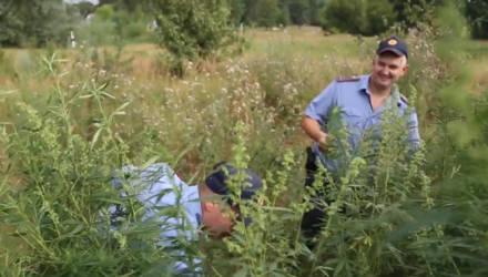 Под Гомелем милиционеры с улыбкой на лицах уничтожили плантацию конопли
