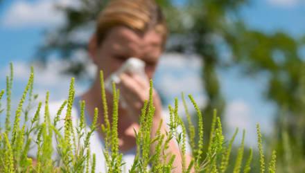 Песок в глазах и приступообразное чихание: на Гомельщине впервые зарегистрирован амброзийный поллиноз