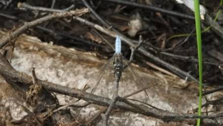 В Беларуси нашли новый вид стрекоз